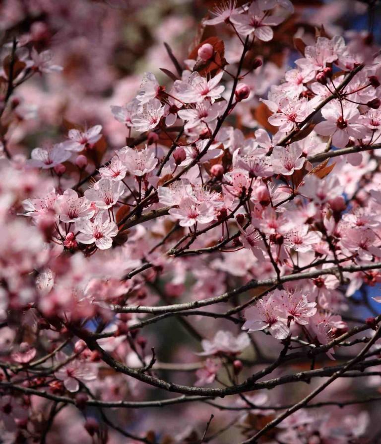 Fiesta del Cerezo en Flor